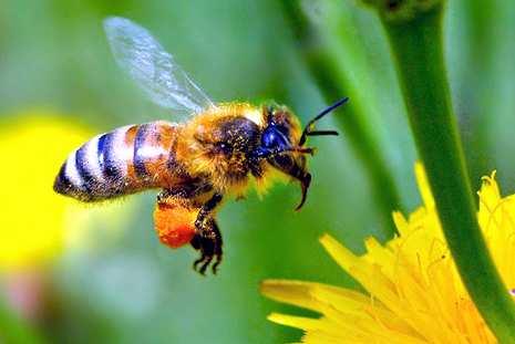 Responsáveis pela polinização, abelhas correm risco de extinção