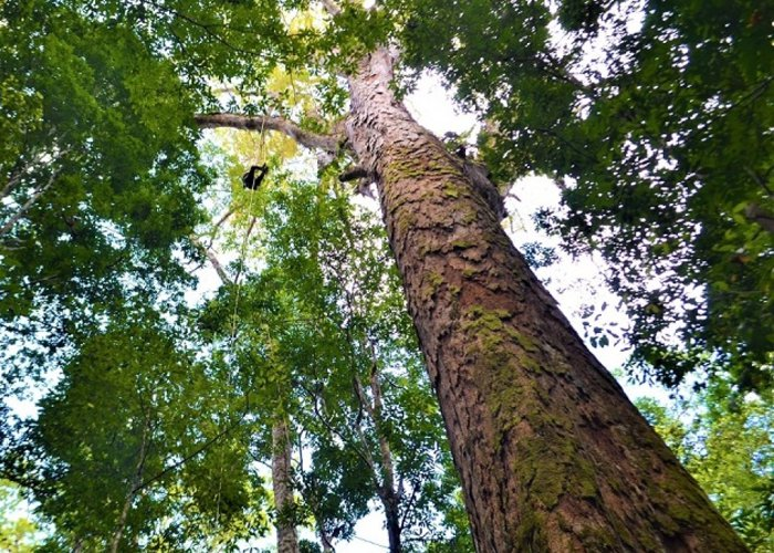 Árvore mais alta da Amazônia pode ter mais de 400 anos de existência