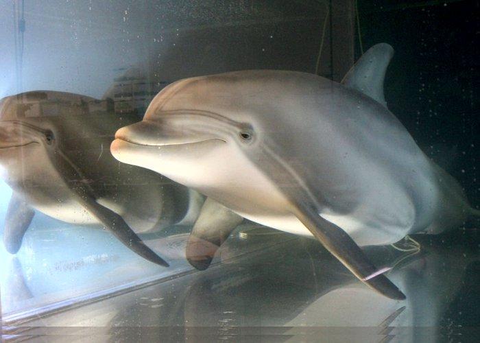 Golfinho-robô é criado como alternativa para substituir animais em parques temáticos